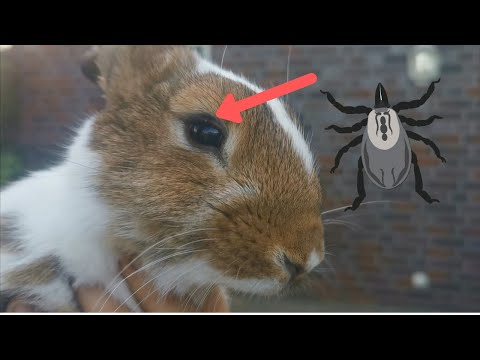 , title : 'Removing the parasite tick from rabbit