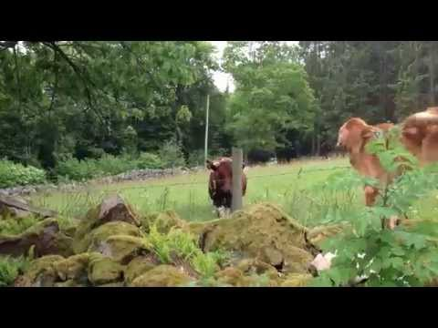 See How this Dog greets these Cows every morning