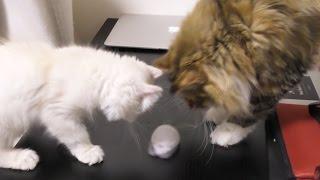 猫にネズミと遊ばせてみたw