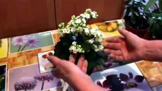 Каланхоэ Блоссфельда Секреты цветения Все правила ухода  Почему не цветет !!!