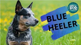 Blue Heeler  - Guide For Australian Cattle Dog Owners