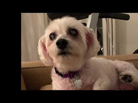 Hope, an adopted Bichon Frise & Poodle Mix in Pasadena, CA