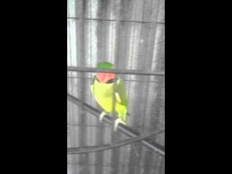 Video Cara makan burung nuri yang unik