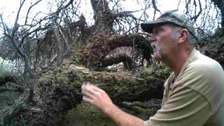Bobcat leaning tree set