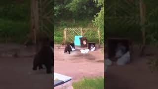 Медведи в Нерюнгри