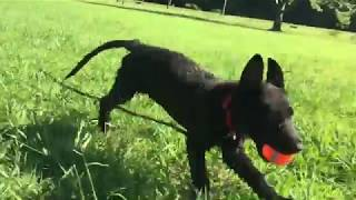 Kato - Multi Purpose K9 Working Dog Puppy Imprinting - Week 3