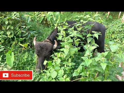 Buffalo farming kerala part 3