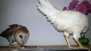 Barn Owl Need To Kill The Chicken
