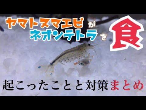 【衝撃映像】悲劇!ヤマトヌマエビがネオンテトラを食べた!