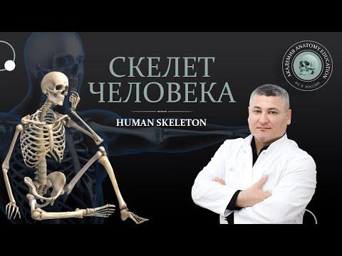 Анатомия костной системы. Скелет человека/ Anatomy of the bone system. Human skeleton