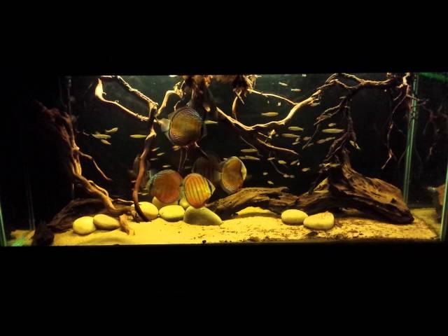 Lago Nhamundá Wild Discus Biotope,Amazon,Aquarium