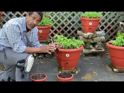 , title : 'Replanting Siberian tomato plants
