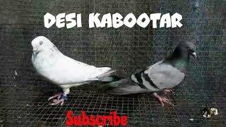 DESI KABOOTAR - Video hài mới full hd hay nhất - ClipVL net
