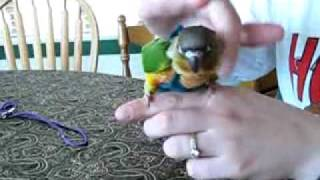 How to put a flight suit on a Green Cheek Conure