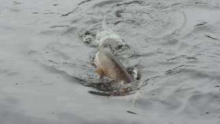 Приманка поверхностная Savage Gear 3D Suicide Duck# 105 10.5cm 28g 01-Natural от компании FISHLAND - видео