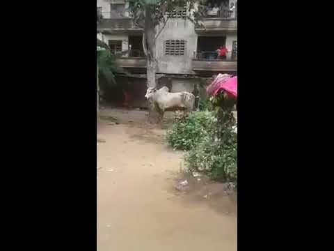 Video: Man turns into cow to avoid lynching