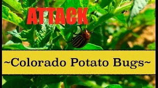 Attack Colorado Potato Bugs~