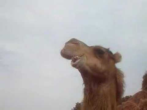short funny video of camel eating
