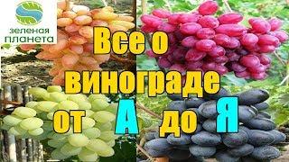 Все о выращивании винограда от укоренения саженца до сбора урожая