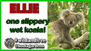 Ellie – a koala valentine special