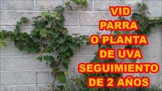 PARRA, VID O PLANTA DE UVA, DESARROLLO A TRAVÉS DE 2 AÑOS