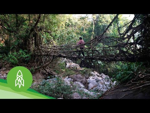 "In a remote village of northeastern India, locals ""grow"" bridges from living trees."