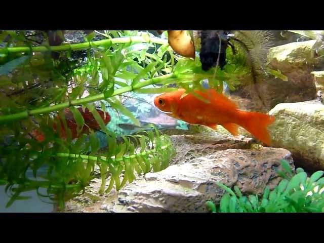 メダカと金魚の混泳
