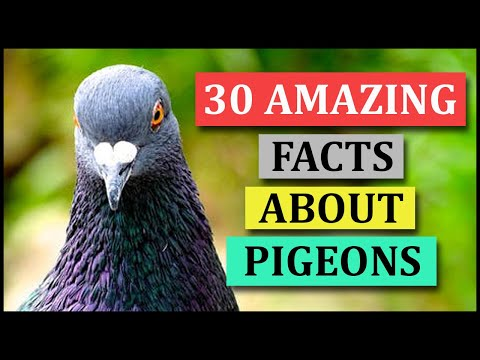 , title : '30 Amazing Facts About Pigeons | Animal Globe