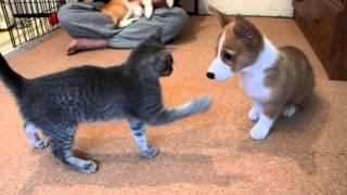コーギー子犬vs子猫 ジャレ合い