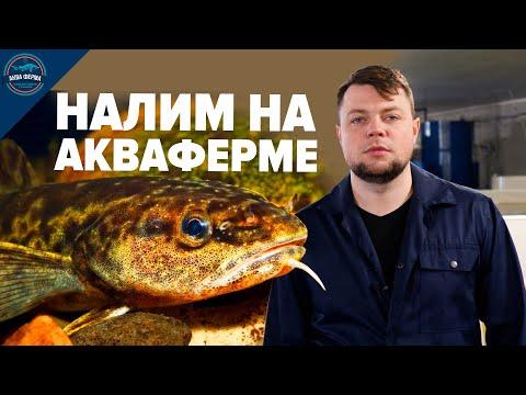 , title : 'Налим. Новая аквакультура на АкваФерме