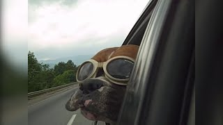 FUNNIEST DOGS - You WILL LAUGH all day long