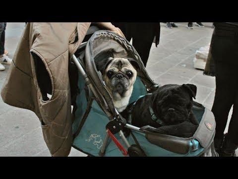 Intervista agli animalisti coi cani nel passeggino