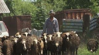 Перспективное животноводство. Новости. GuberniaTV