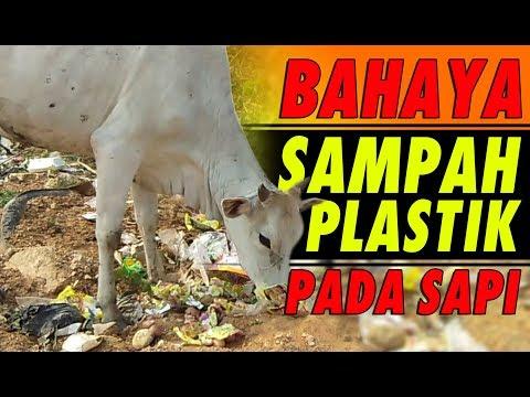 Bahaya Sampah Plastik Pada Sapi