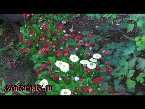Маргаритка: выращивание и уход