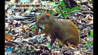 Natural Solutions Costa Rica Childrens Eternal Rainforest (Camera Traps June 2015)