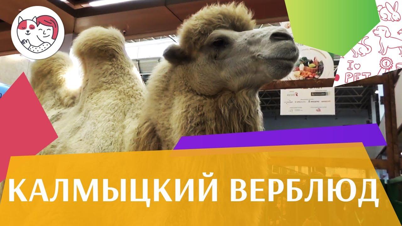 Калмыцкий верблюд на ilikepet. Особенности породы, уход