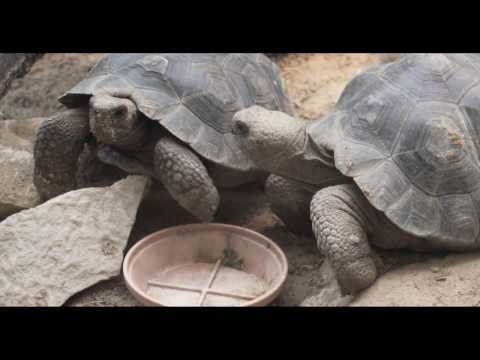 Baby Galapagos Tortoises Lettuce Eating Competition