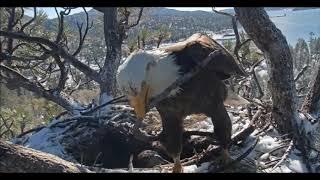 Big Bear Eaglet Death, Last Moments