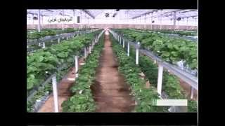 preview picture of video 'Iran West Azerbaijan province, Greenhouse fruits پرورش ميوه گلخانه اي آذربايجان غربي ايران'