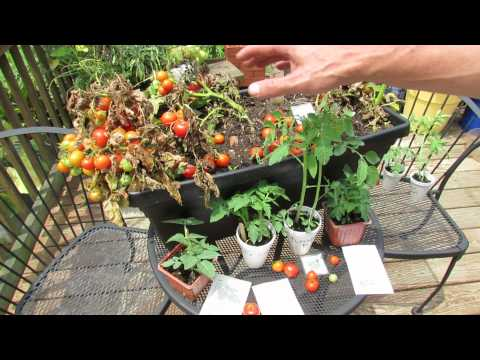 , title : 'How to Grow 12 inch or So Dwarf Container Tomatoes: Variety Types to Try! -TRG 2015