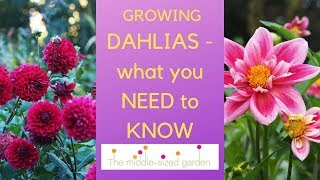 Growing dahlias - everything you need to know about how to choose and grow dahlias