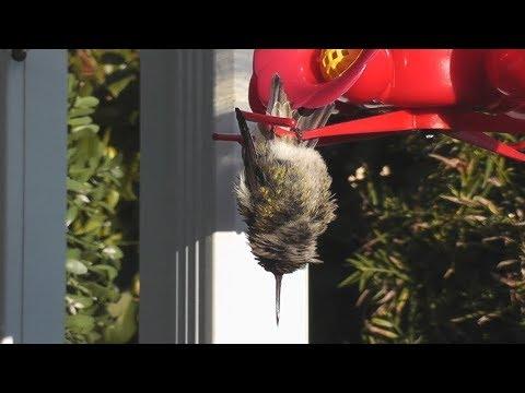 Hummingbird Sleeping While Hanging Upside Down