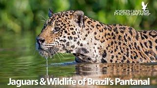Jaguars & Wildlife of Brazil
