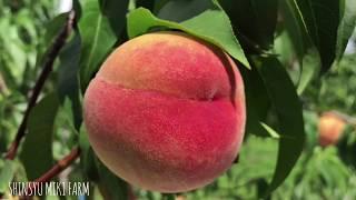 2018.6月:桃が色づいてきました!ムービーあり!