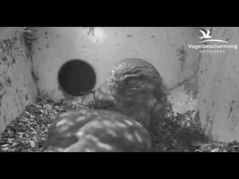 Little Owls Family 2: Male Lures Female into Nest Box - 27.03.17