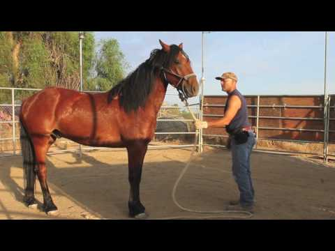, title : 'Training a wild mustang horse ~ groundwork in the first 30 days