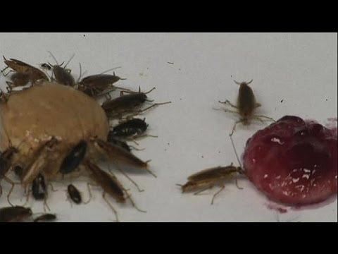Quelle maladie soffre par le stade larvaire des entozoaires à bandes