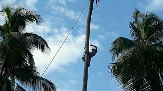 Coconut Tree Cutting l Amazing Skills