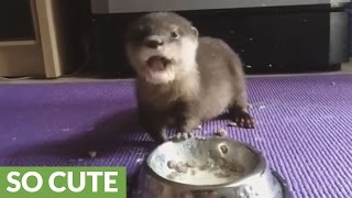Baby otter adorably eats his lunch